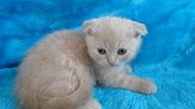 Скоттиши (вислоухие) и британские котята